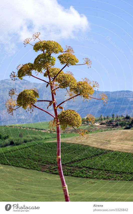 blooming giant fennel in Sicily Light Day Deserted Exterior shot Colour photo Blue Natural Hot Segesta Beautiful weather Landscape Blossom high trunk golden