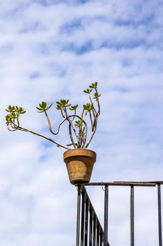 she loves the risk Living or residing Balcony plant Metalware Sky Clouds Beautiful weather Plant Pot plant Succulent plants Flowerpot Above Blue Red White Airy