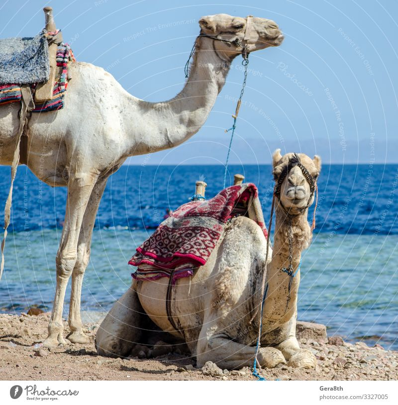 portrait of two camels on coast of sea in Egypt Dahab Exotic Vacation & Travel Tourism Trip Beach Ocean Couple Nature Animal Sand Horizon Coast Transport Pack