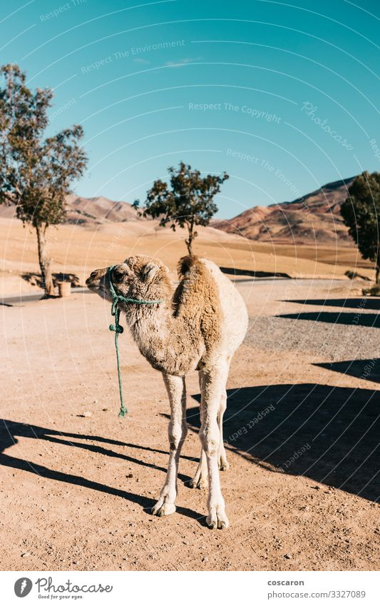 Baby camel alone in the middle of the desert Vacation & Travel Sightseeing Expedition Summer Summer vacation Sun Infancy Nature Landscape Animal Sand Sunlight