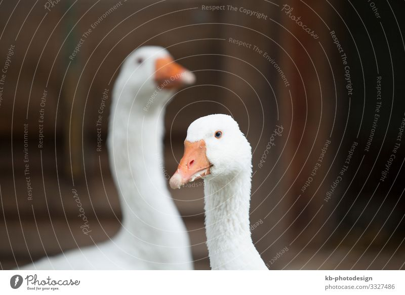 Two geese outdoor on a farm Animal Farm animal Animal face Goose 2 Pair of animals Feeding bird feather feathers beak creature animal welfare farm animals cold
