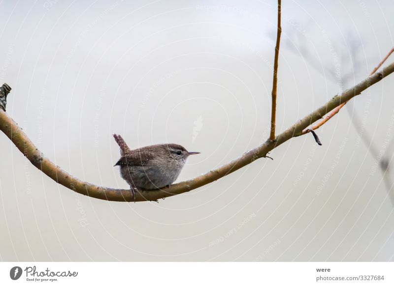 An inconspicuous wren sits on a branch Nature Wild animal Bird 1 Animal Small Soft Troglodytes troglodytes troglodytes copy space cuddly cuddly soft feathers