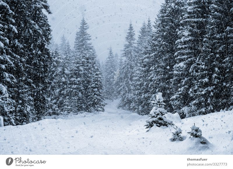 Winter forest, snowfall Vacation & Travel Snow Winter vacation Hiking Nature Landscape Climate Climate change Weather Wind Ice Frost Snowfall Tree Spruce forest