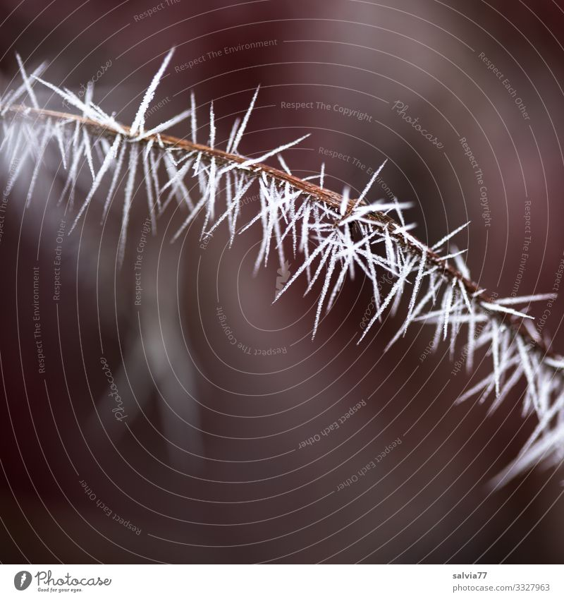 Ice Age | Ice Needles Environment Nature Elements Autumn Winter Climate Weather Frost Plant Twig Hoar frost Esthetic Exceptional Point Thorny Spine
