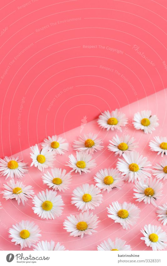 White daisies on a pink background Woman Flower Adults Love Pink Design Decoration Creativity Wedding Mother Blossom leave Conceptual design Floral Engagement