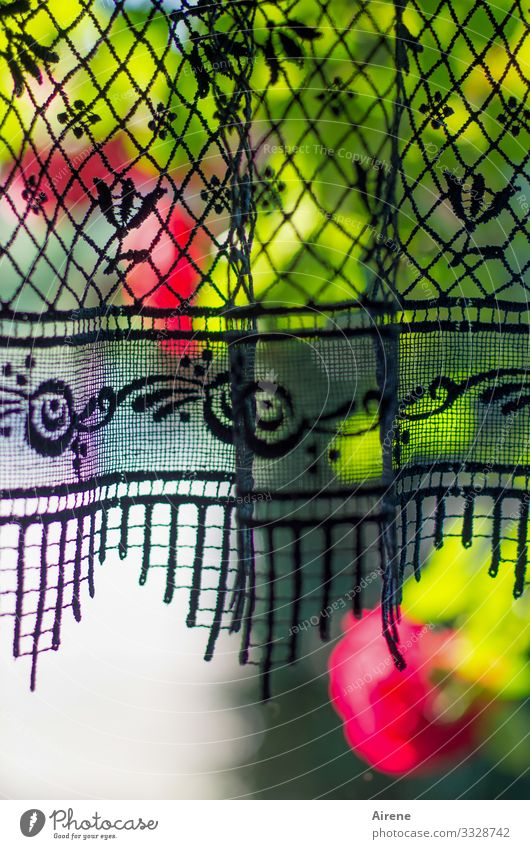 there's no place like home. roses Drape Window Shallow depth of field Blue Red Green variegated vigorously Nostalgia Spring Summer Garden store lace pattern
