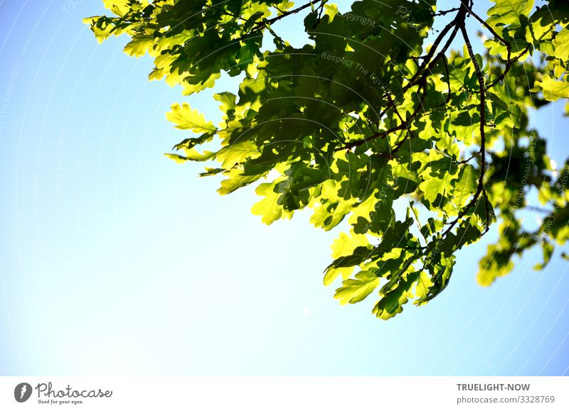 The power of nature can be seen in the partial view of an oak tree in spring with fresh green oak leaves on the branch, which is illuminated by the spring sun against a light blue sky.