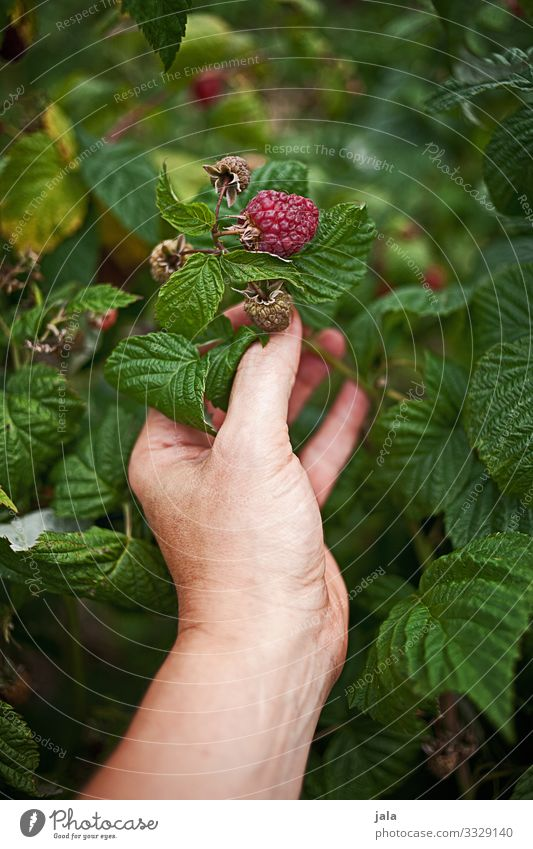 raspberries Food Fruit Raspberry Raspberry bush Work and employment Gardening Agriculture Forestry Hand Fingers Nature Plant Bushes Agricultural crop Growth