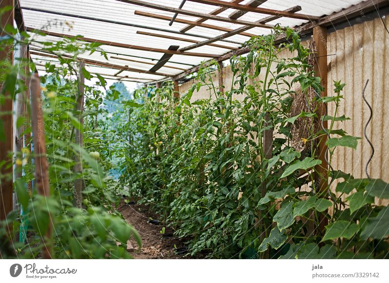 tomatoes Food Vegetable Tomato Gardening Agriculture Forestry Plant Foliage plant Agricultural crop Building Greenhouse Fresh Healthy Natural Growth