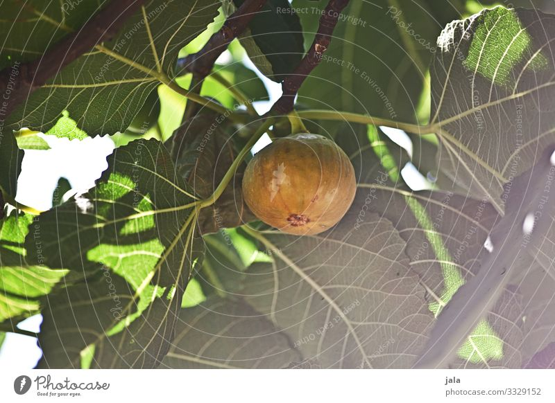 fig Food Fruit Fig Organic produce Vegetarian diet Nature Plant Beautiful weather Tree Leaf Agricultural crop Garden Fresh Healthy Delicious Natural