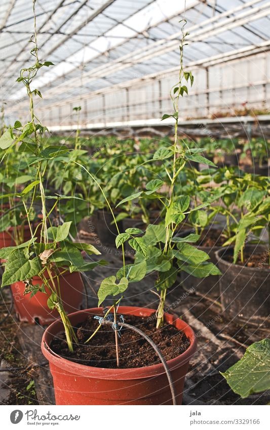 to go to Food Vegetable Gardening Agriculture Forestry Plant Agricultural crop Pot plant Greenhouse Fresh Natural Growth Colour photo Interior shot Deserted Day