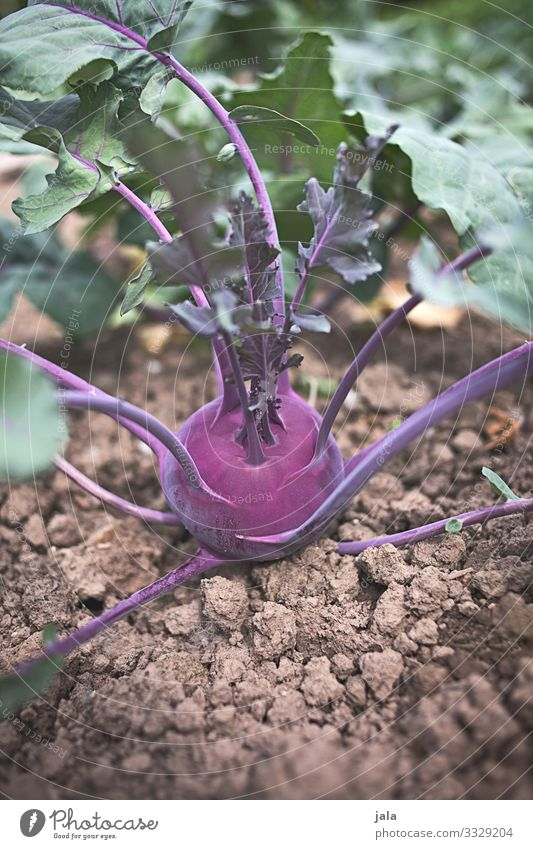 turnip cabbage Food Vegetable Organic produce Nature Earth Plant Agricultural crop Field Fresh Healthy Delicious Natural Agriculture Kohlrabi Colour photo