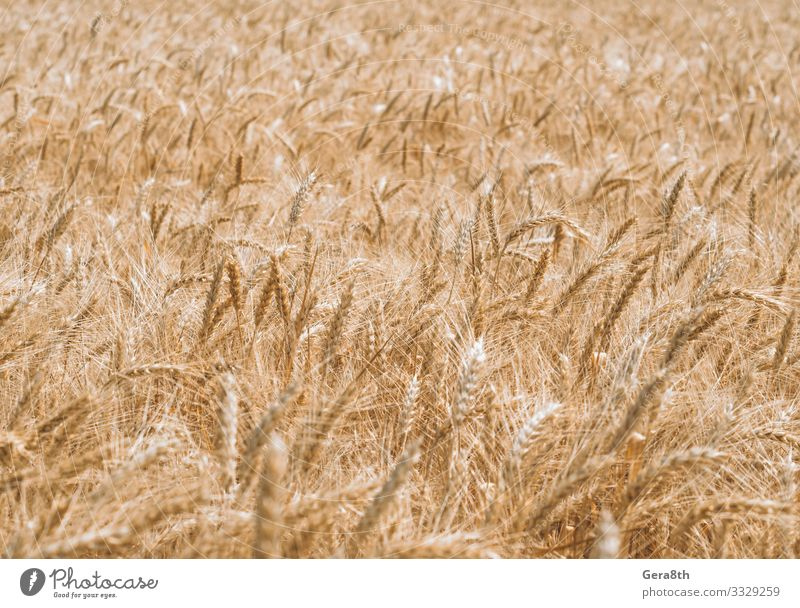 wheat spikelets pattern on the field Summer Culture Nature Plant Climate Leaf Growth Natural Colour Pure agrarian agricultural agriculture agronomy background