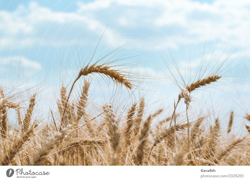 spikelets of wheat on a field on a farm against a blue sky Summer Culture Nature Plant Sky Clouds Climate Leaf Growth Natural Blue White Colour agrarian