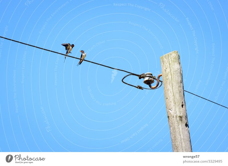 2 swallows on an overhead line bring the summer into the country Swallow birds Overhead line Bird Animal Exterior shot Colour photo Day Wild animal Summer