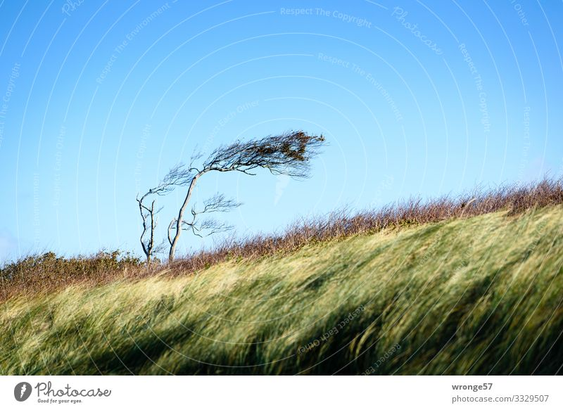 Wind chaser on the west beach Landscape Plant Earth Air Autumn Beautiful weather Tree Grass Bushes Coast Baltic Sea Blue Brown Yellow Green Nature Darss