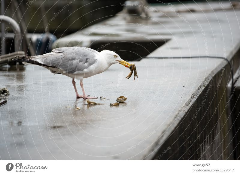 street foot Summer Bad weather Rain Harbour Wild animal Bird Seagull Shrimp 2 Animal To feed Maritime Natural Gray Jetty Part Landscape format Colour photo