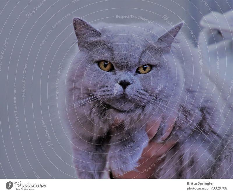British Blu, purebred cat Living or residing Award ceremony Pelt Pet Cat 1 Animal Smiling Dream Healthy Cuddly Contentment Joie de vivre (Vitality) Trust