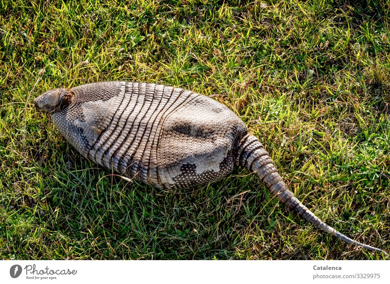 An empty armadillo shell on the grass Nature fauna Animal Wild animal Mammal pangolin horn scales Death dead died Plant Grass Day daylight Brown Green
