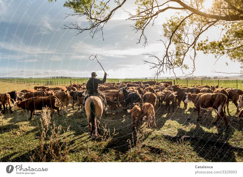 The rider drives cows and calves, which move only ponderously Landscape Nature flora fauna Animal Farm animal Cattleherd Herd of cattle farm person Gaucho Cow