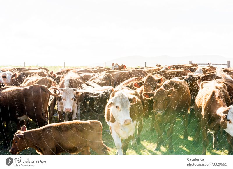 Eugh | fly wrapped herd of cattle stands crammed together in the fence Cattle farming cows looking Grassland Animal portrait Deep depth of field Exterior shot