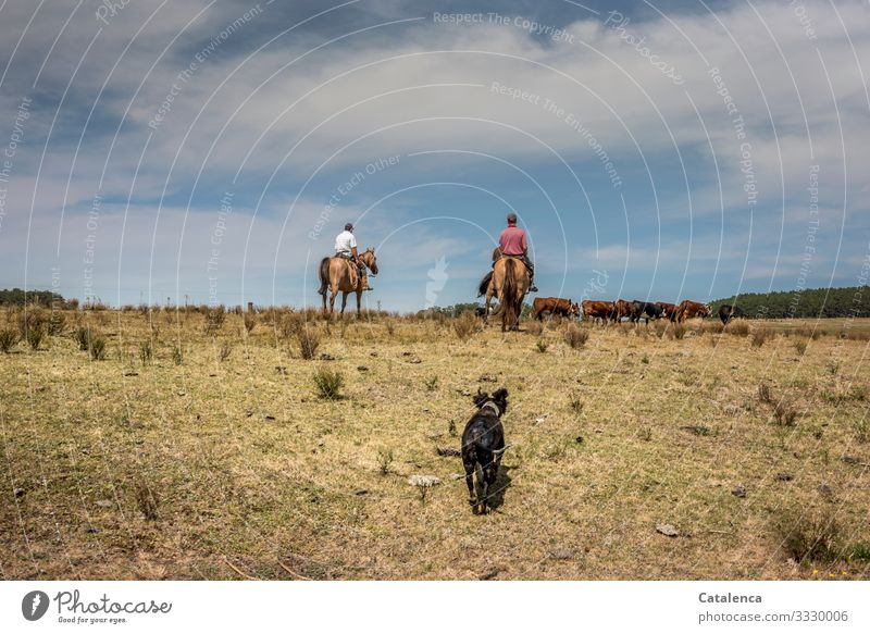 The two riders drive the herd of cattle out of the grazed pasture, the tired dog trots after them. Rider Gauchos Herd of cattle chill Dog horses Farm animal