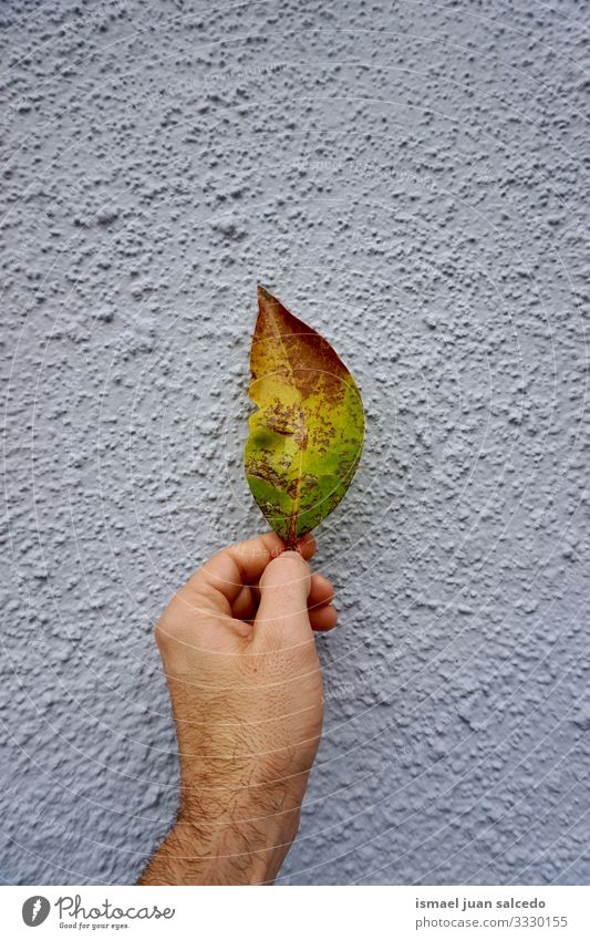man hand with a green and yellow leaf on the blue wall fingers body part holding feeling touching nature freshness sunlight bright outdoors beautiful fragility