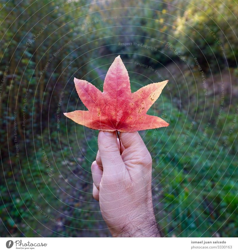 man hand with a beautiful tree red leaf fingers body part holding feeling touching nature freshness outdoors fragility background textured autumn fall winter