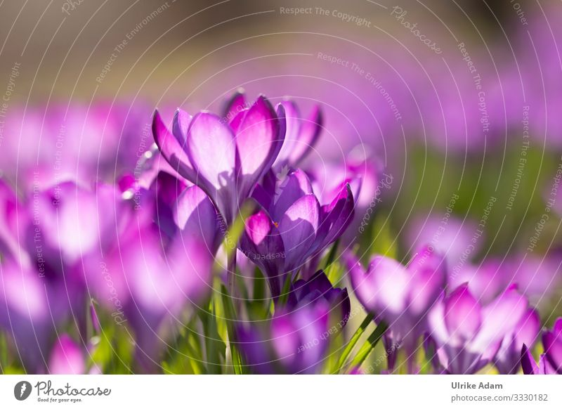 Crocuses ( Crocus ) Elegant Wellness Life Harmonious Relaxation Calm Meditation Spa Wallpaper Easter card Feasts & Celebrations Valentine's Day Mother's Day