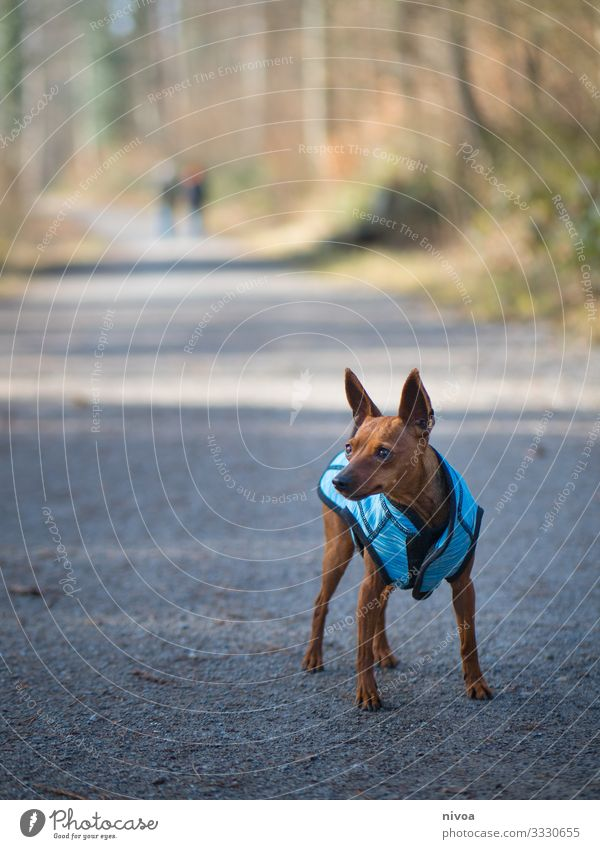 Rehpinscher Dog Cute Walking walk Animal Pet Exterior shot Colour photo 1 Animal portrait Walk the dog To go for a walk Nature Day Friendship Dog lead Landscape