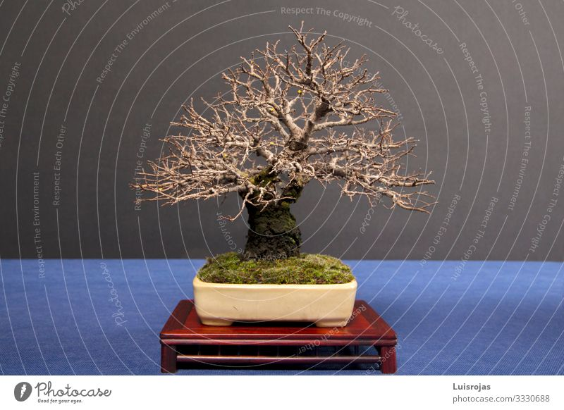 bonsai Zelkova without leaves on table isolated back backboard Beautiful Life Leisure and hobbies Vacation & Travel Art Artist Exhibition Culture Autumn Tree