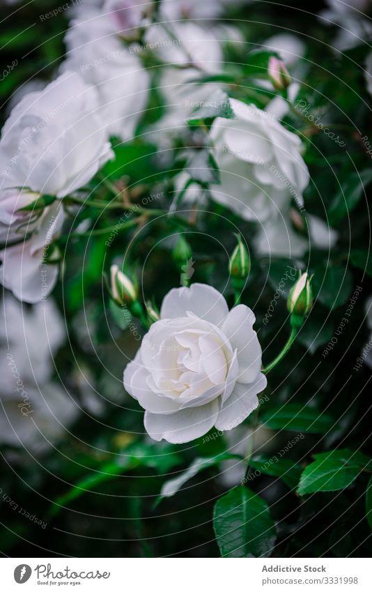 Close-up soft white roses beautiful flowers nature scissors love beauty color petal romance valentine bloom blossom plant floral green romantic bouquet bunch
