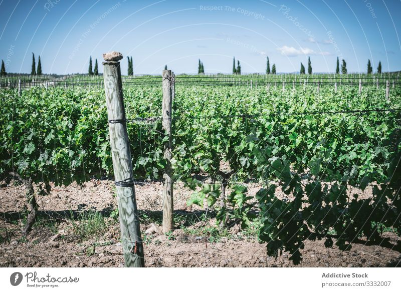 Green plant vines on farm growth green countryside sunny daytime agriculture nature rural organic delicate plantation agronomy leave lush foliage vegetation
