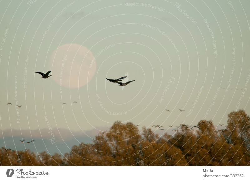 Another bird and moon photo Environment Nature Animal Air Sky Moon Full  moon Plant Tree Treetop Wild animal Bird Goose Wild goose 3 Group of animals Flock