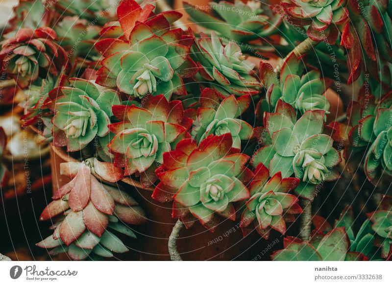 Texture of a sedum palmeri Exotic Beautiful Nature Plant Cactus Leaf Pot plant Faded Dark Natural Green Red Stress Colour Sedum Succulent plants Consistency