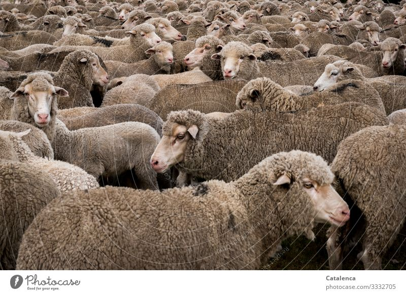 flock of sheep Agriculture Forestry Nature Animal Meadow sheep pasture Farm animal Sheep Herd Sheep pen Stand Wait Brown Gray Pink Nerviness Perturbed