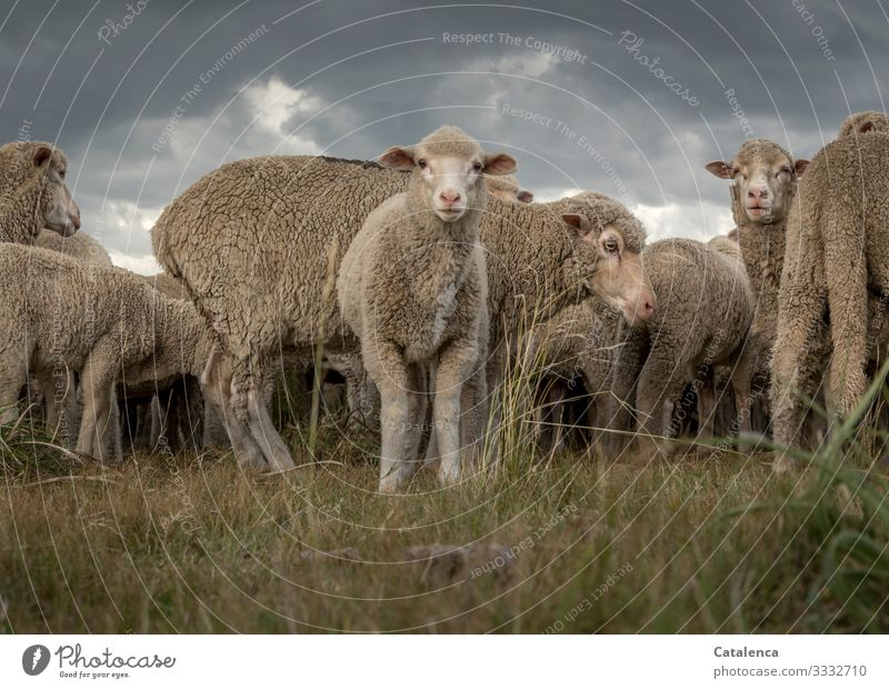 A curious lamb fauna Nature Farm animal Sheep Lamb Flock Plant Grass Willow tree Keeping of animals Agriculture Group of animals Wool animal portrait Sky Clouds