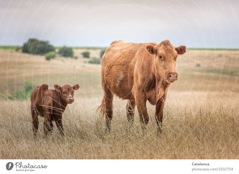 Cow and calf on the wide steppe looking into the camera Brown Green Environment Sky Landscape Hill trees Horizon Plant Willow tree Grass fields Together