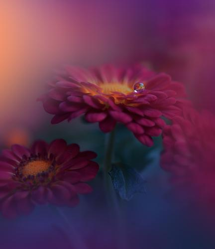 Red Daisy Flower.Floral Art Design.Violet Nature Background. Lifestyle Elegant Style Exotic Joy Work of art Plant Drops of water Water Blossoming Love Together