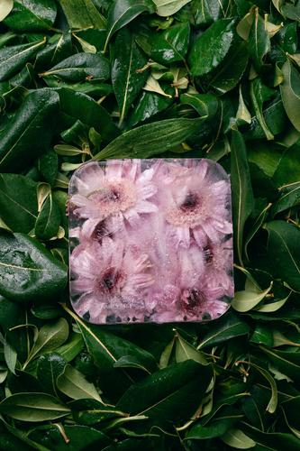Frozen chrysanthemum flowers on green leaves Cold Conceptual design Cube Ice Chrysanthemum Marguerite Flower Blossom leave Botany Bright Beautiful Summer Plant