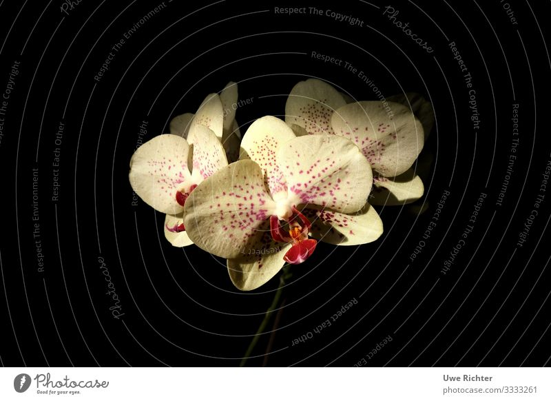 Orchid in front of black background Plant Flower Eternity Identity Life Center point Nature Colour photo Interior shot Close-up Copy Space left Copy Space right