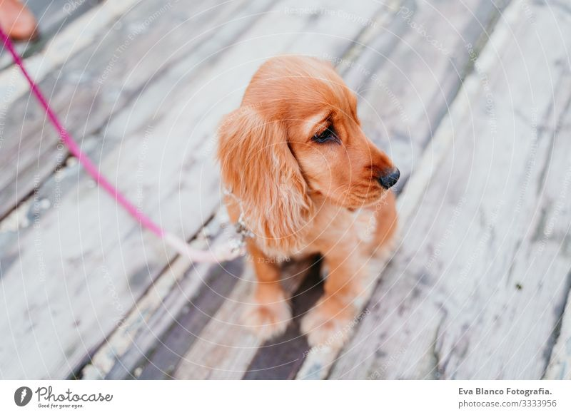 portrait of cute puppy cocker spaniel dog outdoors Woman Dog Pet Park Sunbeam Exterior shot Love Embrace Smiling Rear view Kissing Breed Purebred
