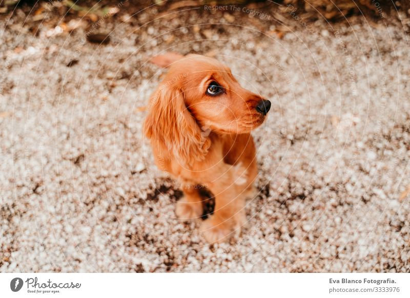 portrait of cute puppy cocker spaniel dog outdoors Woman Dog Pet Park Sunbeam Exterior shot Love Embrace Smiling Kissing Breed Purebred Youth (Young adults)