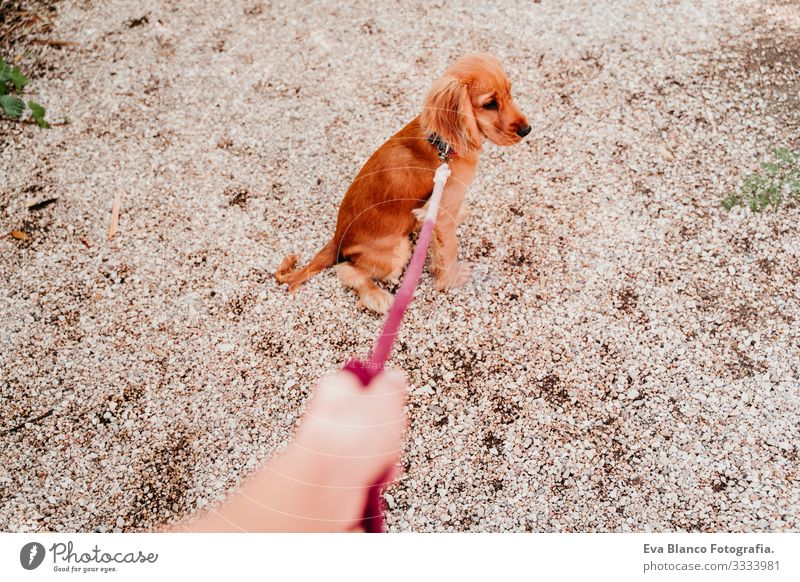 Woman walking with her cute puppy of cocker spaniel. POV hand and leash Walking Leash Dog Pet Park Sunbeam Exterior shot Love Embrace Smiling Kissing Breed