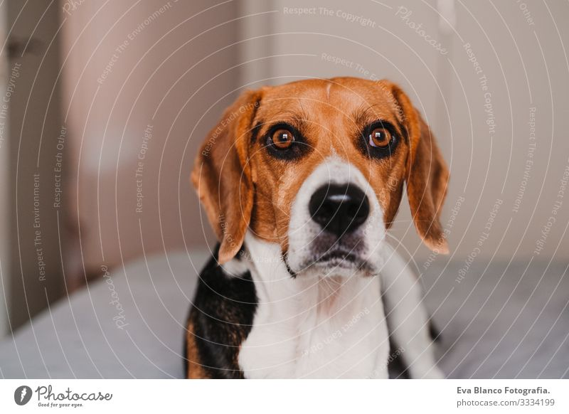 close up portrait of beautiful beagle dog at home Beagle Dog Pet Home Bed Lie (Untruth) House (Residential Structure) Day owner Deserted Portrait photograph