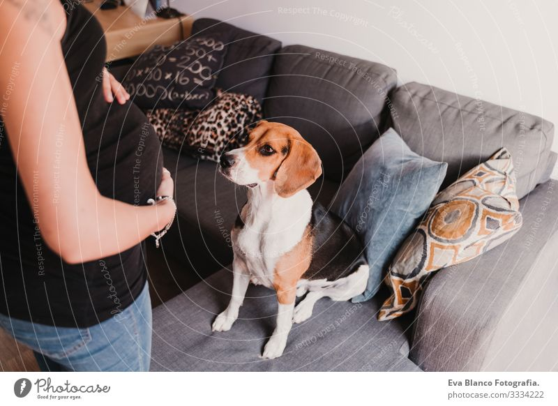 young pregnant woman at home with her cute beagle dog Pregnant Woman Dog Home Beagle Pet expecting Life Domestic Smiling Embrace indoor Relaxation Considerate