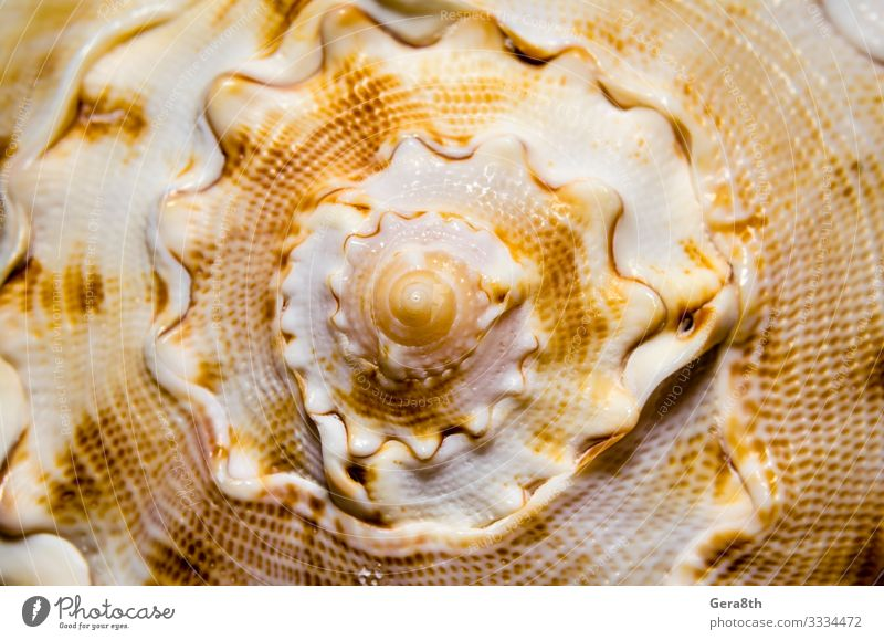 large spiral sea shell close-up abstract texture macro Waves Glittering Large White cream curved cyclic dotted dotty gloss orange round seashell Spiral Striped
