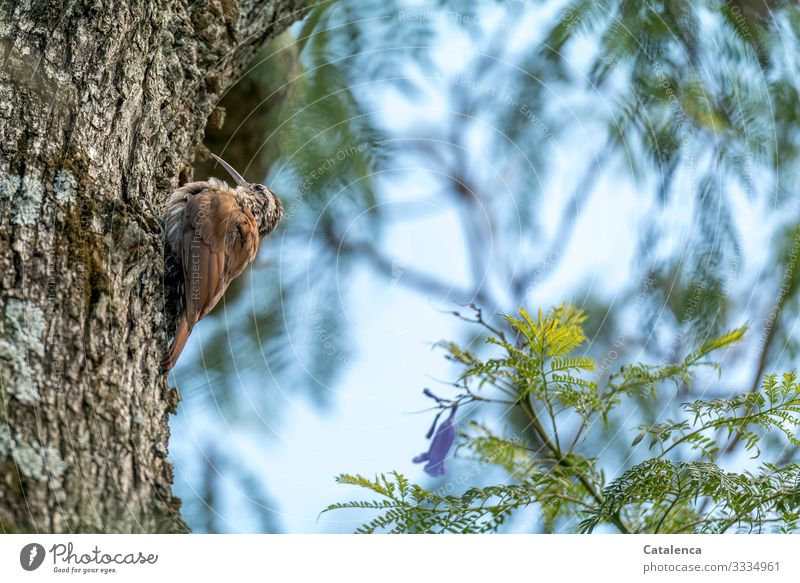 A small, brown bird with a long, curved beak sits on the bark of the jacaranda tree Nature flora fauna Tree trunk Branch courtship Blossom Jacaranda Animal