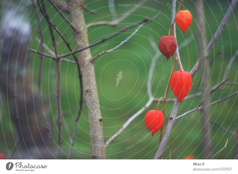 physalis Food Fruit Spring Summer Bushes Blossom Garden Blossoming Red Physalis Chinese lantern flower Colour photo Exterior shot Close-up Deserted