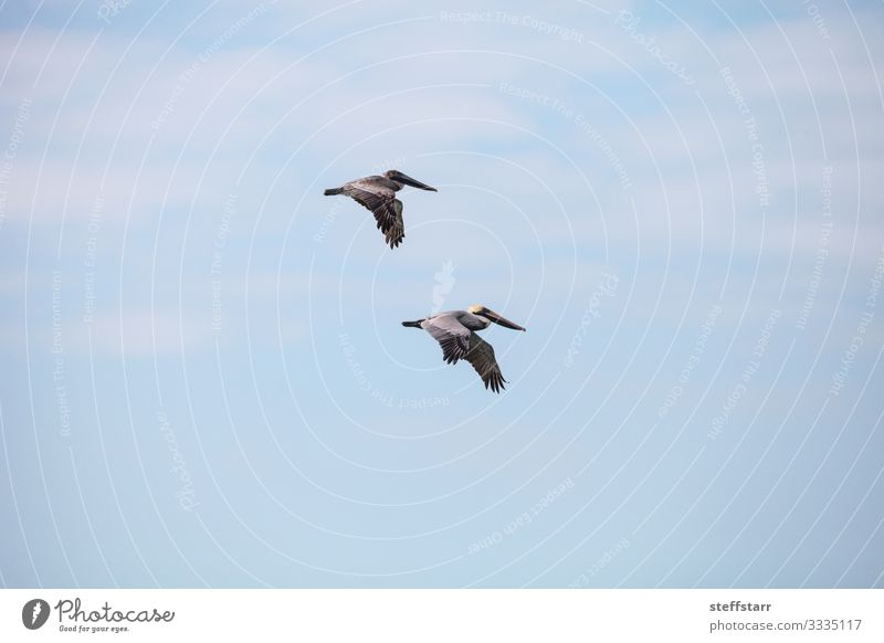 Pair of brown pelican birds Pelecanus occidentalis Beach Ocean Woman Adults Man Nature Animal Wild animal Bird 2 Flying Blue Brown Brown pelican Pelican
